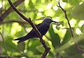 Lesser Noddy - Anous tenuirostris 3.jpg