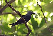 Lesser Noddy - Anous tenuirostris 3