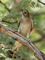 Lesser honeyguide, Indicator minor, at Pilanesberg National Park, South Africa (15809821817).jpg