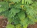 Leucaena leucocephala 21.jpg