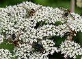 Leucozona glaucia (females) - Flickr - S. Rae.jpg