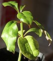 Leuenbergeria bleo seedling with cotyledons, by Omar Hoftun.jpg
