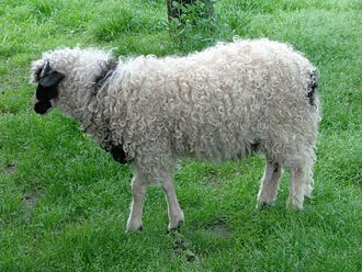 Sheep - The Lička pramenka is a sheep breed of Croatian origin