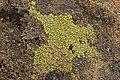 Lichen (28129846217).jpg