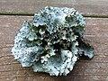 Lichen From Pine Tree (10066823905).jpg