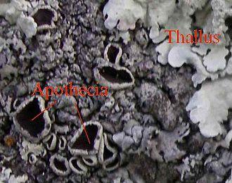 Lichen - Disc-like apothecia (left) and thallus (right) on a foliose lichen