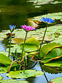 Lilies (5140773589).jpg