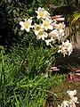 Lilium regale var. regale - 20070814.jpg