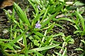 Limnophila 3.jpg