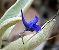 Linaria sp. Toadflax. (28076113919).jpg