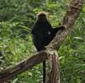 Lion tailed macaque western ghats.jpg