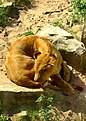 Lioness - panoramio.jpg