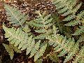 Lip Fern - Flickr - treegrow.jpg