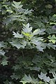Liriodendron chinense, Hangzhou Botanical Garden 2018.06.03 15-35-39.jpg