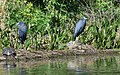 Little Blue Herons (34191905101).jpg