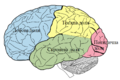 Lobes of the brain UKR.png