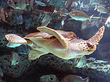 Photo of sea turtle swimming near a diverse group of fish.