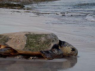 Gnaraloo Turtle Conservation Program