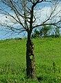 Lonely tree, Konza Prairie trail - panoramio.jpg