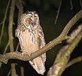 Long-eared owl (41207238900).jpg