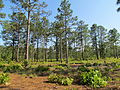 Long Leaf Pines at Singletary Lake State Park.jpg