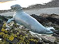 Looe, Statue of 'Nelson' the seal - geograph.org.uk - 1207743.jpg