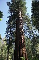 Looking up biggest in Tuolumne Grove.jpg