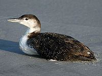 Loon, common 04-24 a