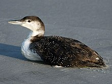 Loons And Turtles And Cranes Oh My >> Common Loon Wikipedia