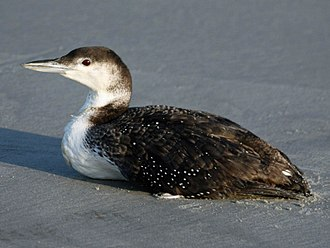 Common loon - Image: Loon, common 04 24 a