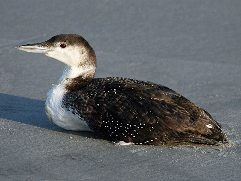 File:Loon, common 04-24 a.jpg