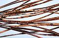 Lophodermium pinastri (Schrad.) Chevall. 2110072.jpg