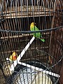 Lovebirds caged in Jatinegara Market 02.jpg