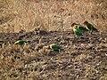 Lovebirds in Tanzania 3493 Nevit.jpg