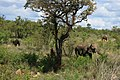 Loxodonta africana 3.jpg