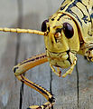 Lubber Grasshopper, NPSPhoto (9101452540).jpg