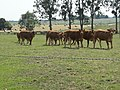 Lucé-sous-Ballon (Sarthe) paysage avec vaches (01).jpg