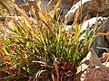 Luzula parviflora (29206467775).jpg