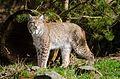 Lynx (16712948809).jpg