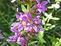 Lythrum salicaria Lago di Valle 02.jpg