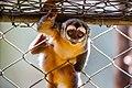 Macaco-da-noite (Aotus azarae) - Azara's Night Monkey.jpg