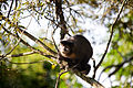 Macaco-sauá (Sapajus libidinosus) (14007656603).jpg