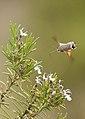Macroglossum Stellatarum - Esfínge colibrí - Hummingbird Hawk-moth (4552637306).jpg