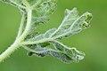 Macrolabis heraclei on Heracleum sphondylium (31882420036).jpg