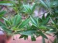Madhuca longifolia var. longifolia (6941686140).jpg