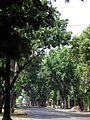 Mahogany by a street..JPG