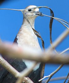 Male-White-Throated-Ground-Dove.jpg