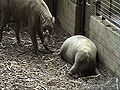 Male-female-babirusa.jpg