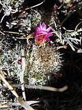 Mammillaria sphacelata (5736097561).jpg