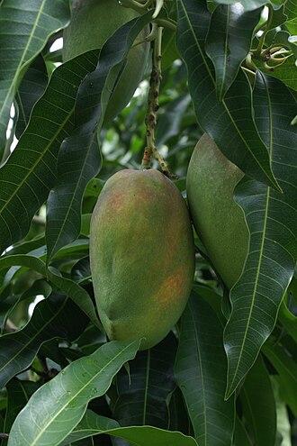 Cogshall (mango) - Cogshall mango in Reunion Island